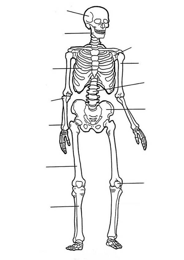 human skeleton bones worksheet sketch coloring page