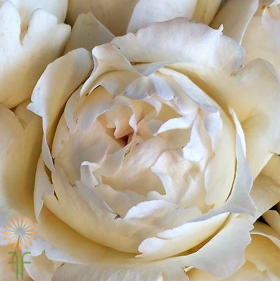 Incroyable Fabulous Florals