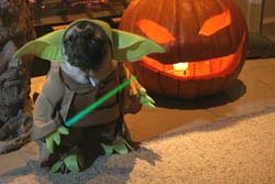 Pugs in Costumes  Pugs Dressed up  Yoda pug