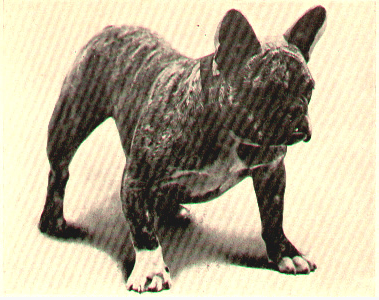 Salvolatile, FBDCA Best of Breed Winner 1910