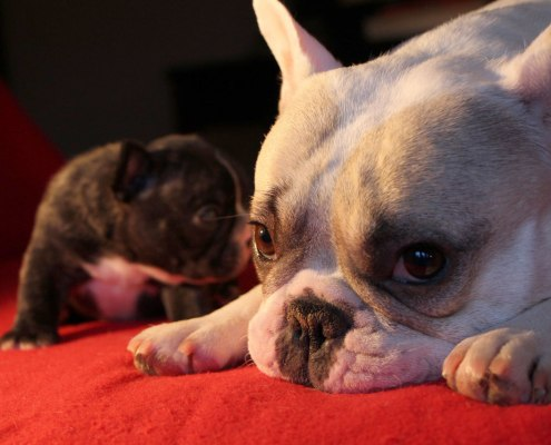 Madge and French Bulldog puppy