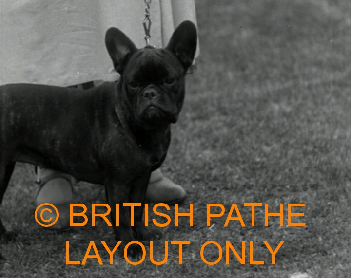 French Bulldog Champion Barkston Atom