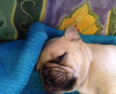 French Bulldog puppy at 3 weeks