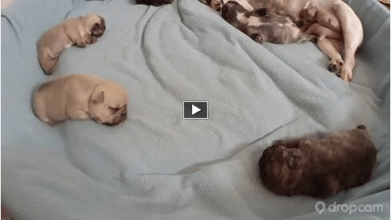 French Bulldog Puppies on Frenchie Puppy Cam