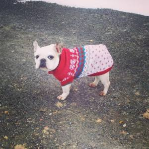 Montreal Area French Bulldog for adoption