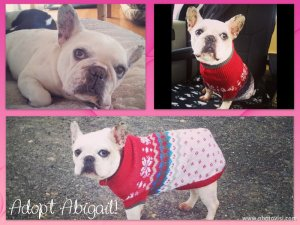 Adopt Abigail - Montreal French Bulldog for Adoption