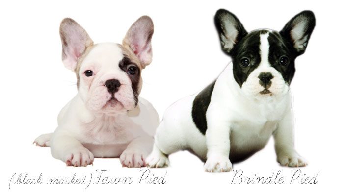 Pied French Bulldogs Coat Color Inheritance French Bulldogs By