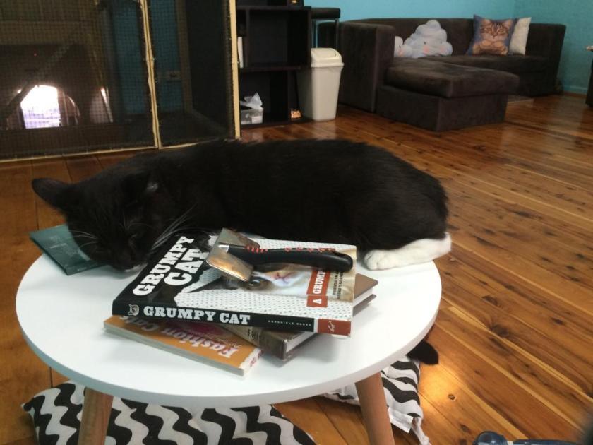 """Die 10 verrücktesten """"Attraktionen"""" auf Tripadvisor cat cafe katzen café sydney australien catmosphere"""