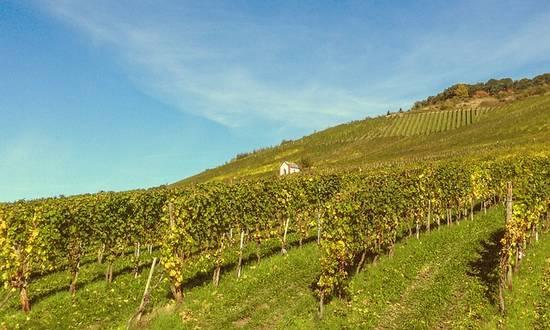 vigne-vino_(katjasv@pixab)