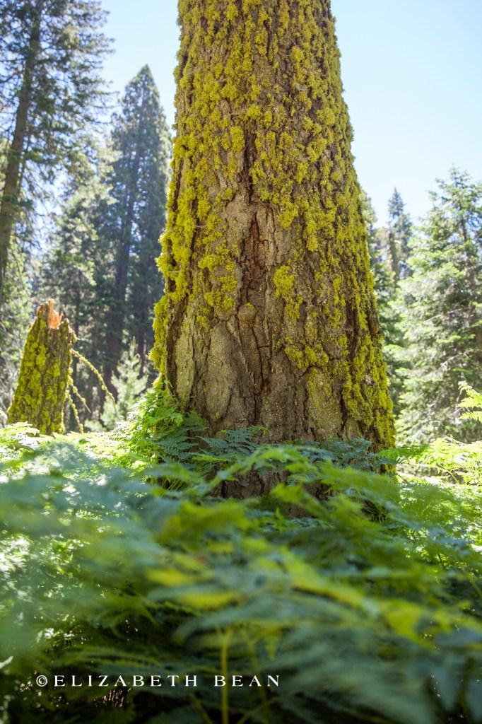 070214 Sequoia 58