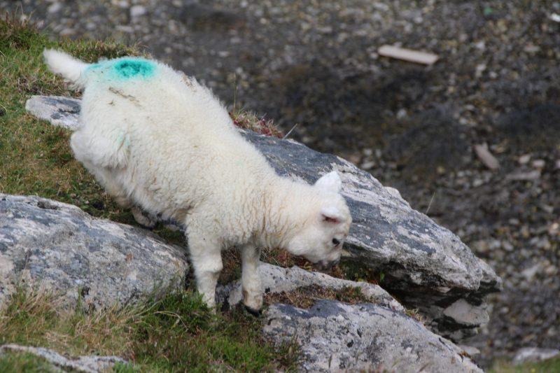 Schaf-Irland-1