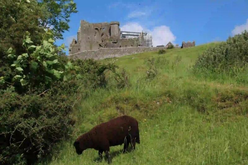 Schaf-Irland-Rock-of-Cashel