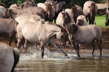 Wildtiere in Nordrhein-Westfalen: Wildpferde und Hochlandrinder