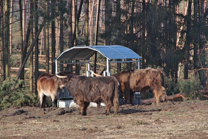 Hochland Rinder im Teutoburger Wald, Exmore Ponies in Ostwestfalen