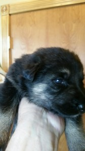 Black and tan female german shepherd puppy for sale