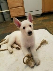 German Shepherd Puppy for Sale- 8 week old male
