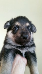 Burgin_Snowcloud_german_shepherd_puppy-sold_De Bats_black and tan_male_4_weeks_old