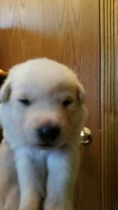 Shepherd Puppy White Female2 Livingston Montana Sold