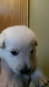 Snowcloud German Shepherd Puppy White Female Livingston Montana Sold
