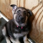Black and tan male red collar