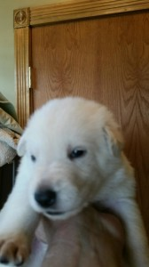 White female german shepherd puppy #1 for sale