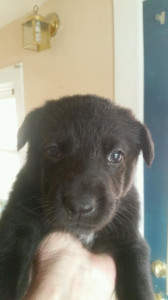 black female german shepherd puppy for sale four weeks old