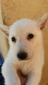 White male, Snowcloud German Shepherd Puppy, 5 weeks old, for sale