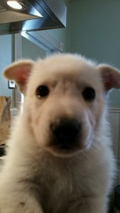 Burgin Snowcloud German Shepherd Puppy White Male 5 weeks old for sale