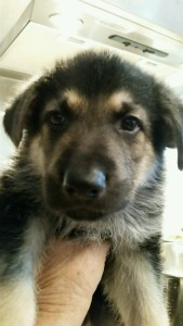 Burgin Snowcloud German Shepherd Puppy Black and Tan Male 6 weeks old sold