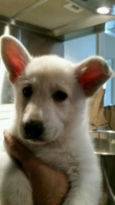 Burgin Snowcloud German Shepherd Puppy White Female2 6 weeks old sold