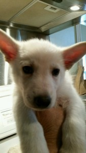 Burgin Snowcloud German Shepherd Puppy White Male 6 weeks old for sale