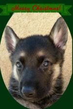 black-and-tan-male-snowcloud-german-shepherd-puppy-5-weeks-old-sold