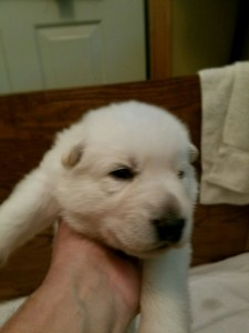 White male puppy #1 for sale