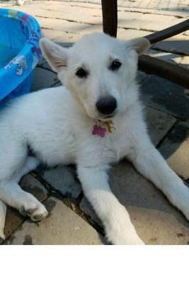 Burgin Snowcloud German Shepherd puppy white female #1, 9 weeks old for sale.