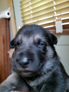 Snowcloud Shepherd Puppy sold black tan female 1
