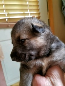 Snowcloud Shepherd Puppy for sale black tan female 2