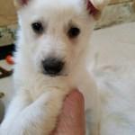 Burgin Snowcloud German Shepherd White Male 5 weeks old sold