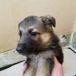 German Shepherd Black and Tan Female-#2 5 weeks old sold