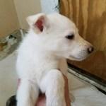 German Shepherd White Female #2 5 weeks old sold