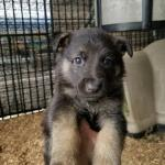 Burgin Snowcloud German Shepherd Puppy black and tan female yellow collar five weeks old- sold to Carol- Brodus MT