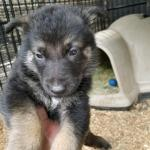 Burgin Snowcloud German Shepherd Puppy black and tan male green collar five weeks old- sold to Beth- Wyoming