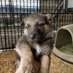 Burgin Snowcloud German Shepherd Puppy for Sale sable female five weeks old