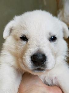 Burgin Snowcloud German Shepherd Puppy for Sale white male black collar three weeks old