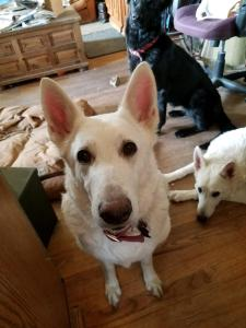 Shiloh Snow Cloud German Shepherd Adult Female