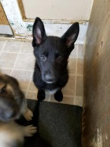 Black female blackout German shepherd puppy , pink collar, for sale. 7 weeks old.
