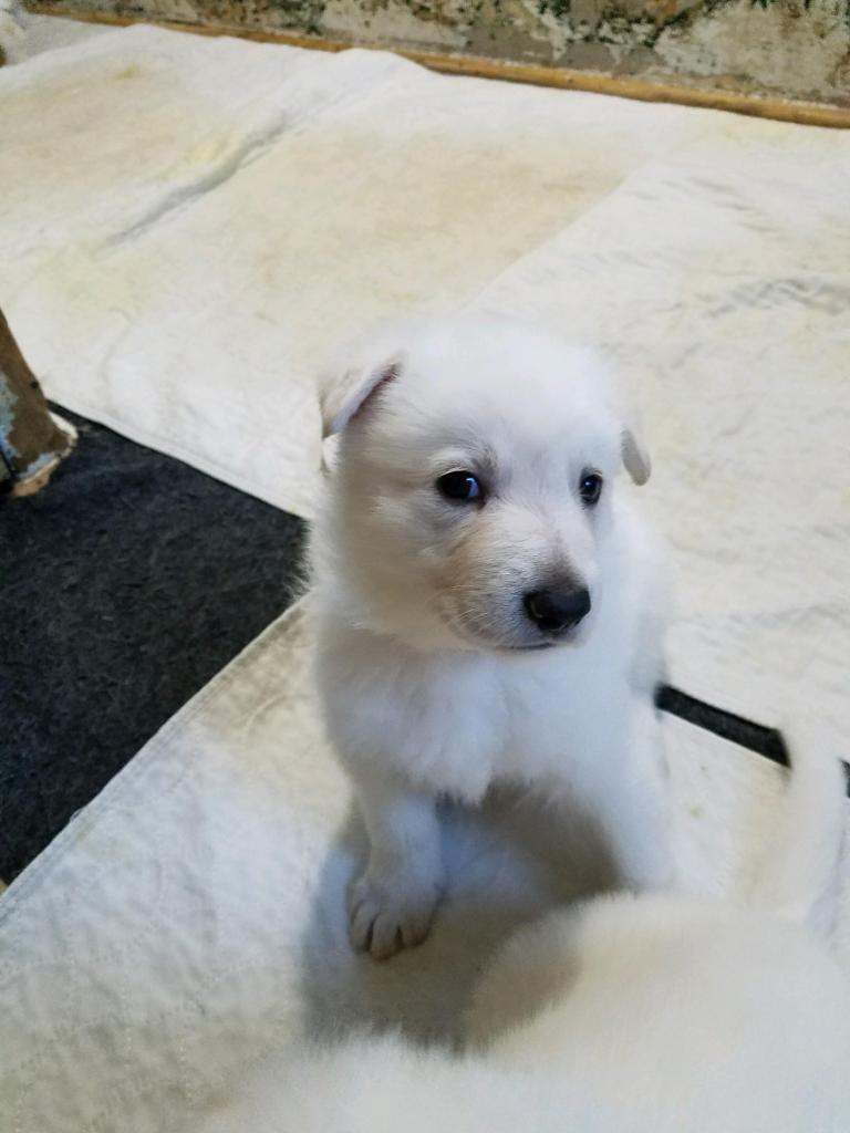 5-week old male straight back Snowcloud german shepherd puppy- white color purple collar.
