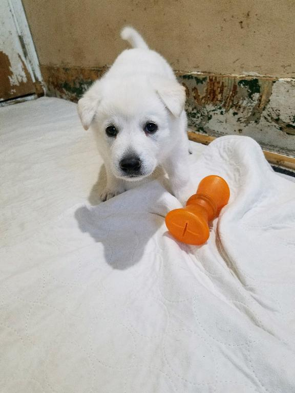 5 week old female straight back Snowcloud german shepherd puppy- white color red collar.