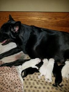 Shawnee with 9 Snowcloud German Shepherd Puppies for Sale