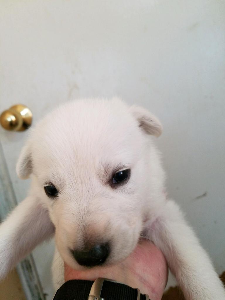 White Female #6 Snowcloud German Shepherd Puppy for Sale