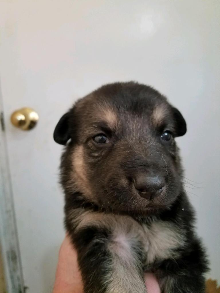 Black and Tan/Silver Female #3 Snowcloud German Shepherd Puppy for Sale